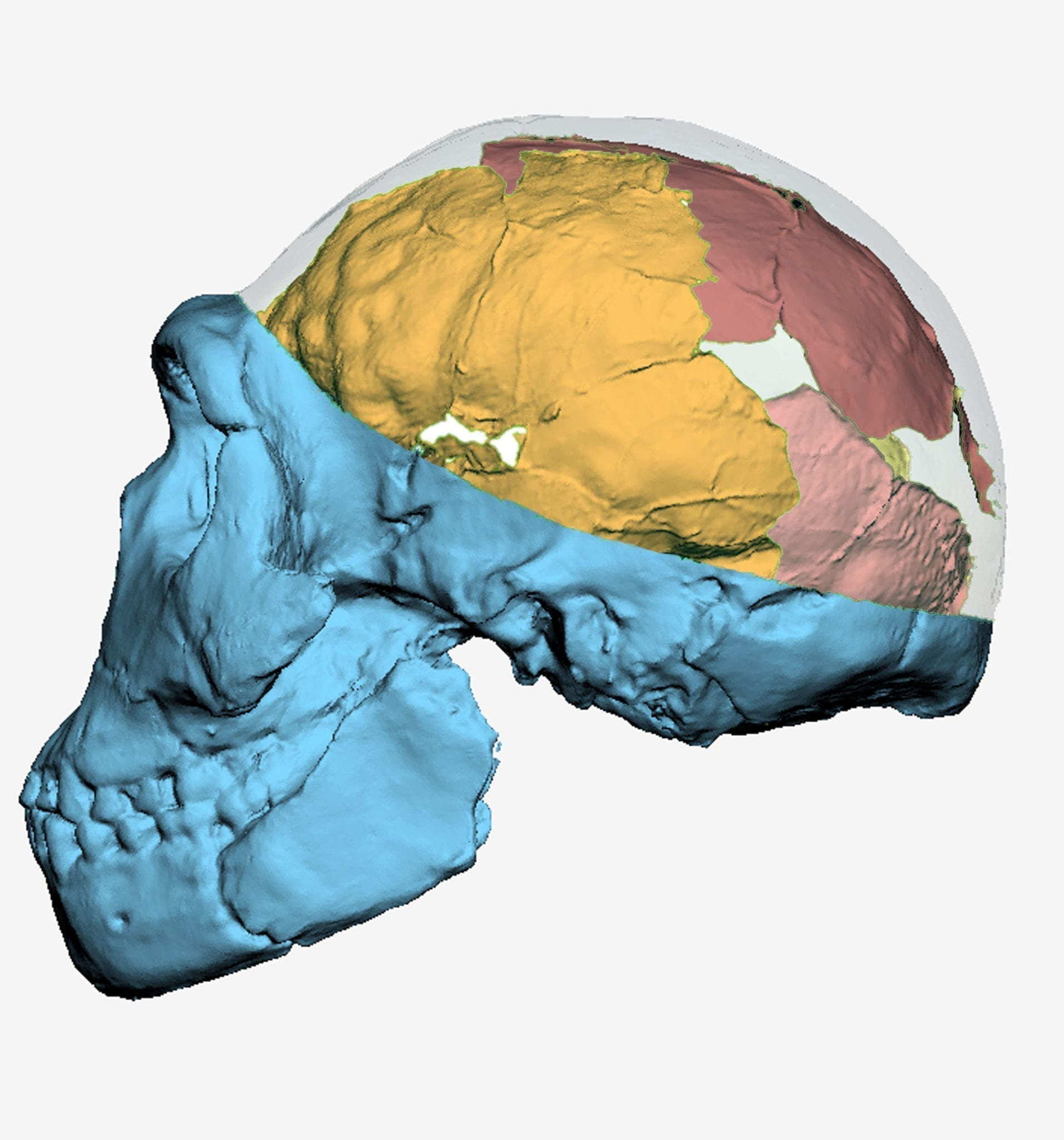 Where hominid brains are concerned, size doesn\'t matter - Des Moines ...