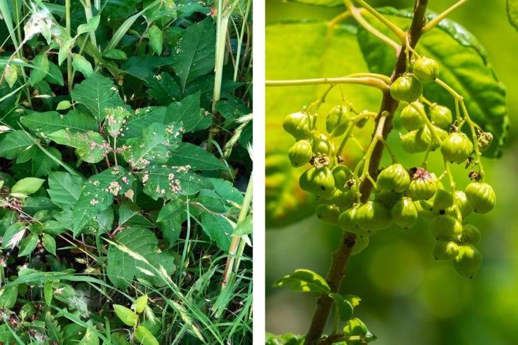 Poison ivy shrubs
