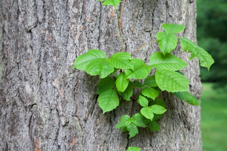 Poison ivy as a vine