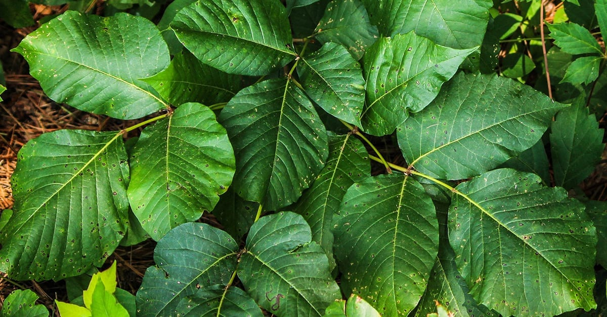 Des Moines University Clinic Health Topics | Everything you need to know about poison ivy