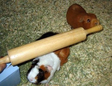 Wow, that is a great looking rolling pin. Guinea pigs not included.