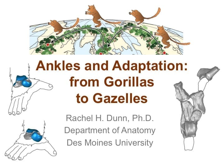 Ankles and Adaptation: From Gorillas to Gazelles