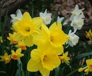 daffodils-375x250