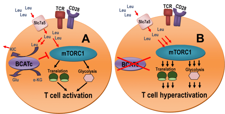 Figure1. Model of BCATc regulation of mTORC1 activity in T cells. A. Upon T cell activation, leucine is imported into the T cells to stimulate mTORC1. BCATc is induced in activated T cells, and it starts transaminating leucine thus regulating the leucine supply to mTORC1. The BCKA product of leucine transamination (α-ketoisocaproate, KIC) is released outside the cells. B. Loss of BCATc no longer regulates leucine supply to mTORC1 which can lead to T cell hyperactivation. Copyright to Advances in Nutrition (Ananieva et al., Advances in Nutrition 7: 798S-805S)